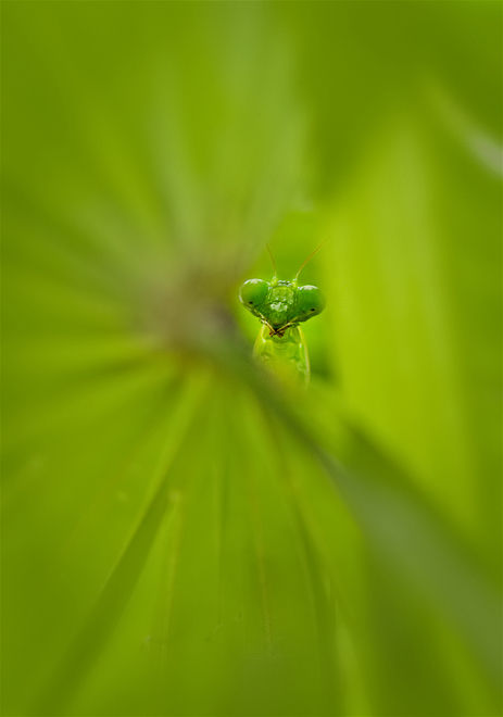 praying mantis green