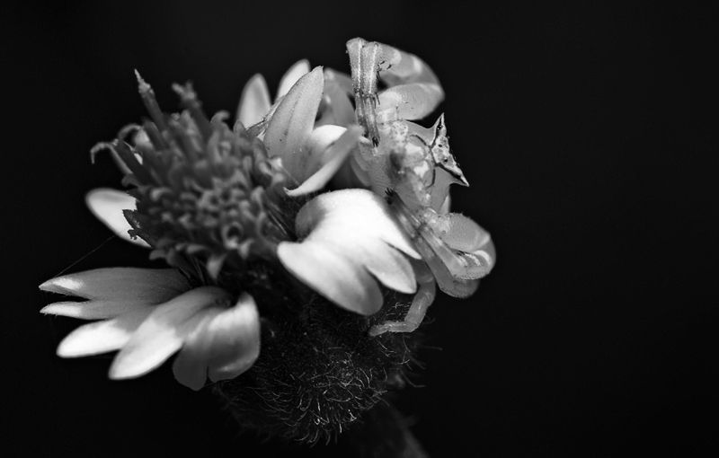 macro crab spider on flower black white