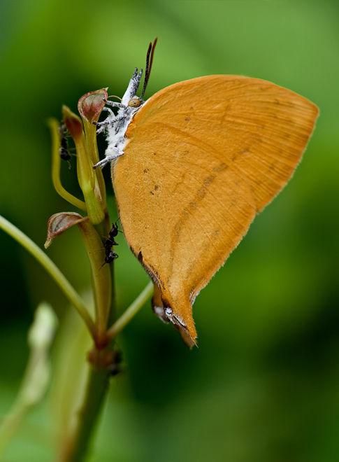 yamfly theclinae loxura atymnus