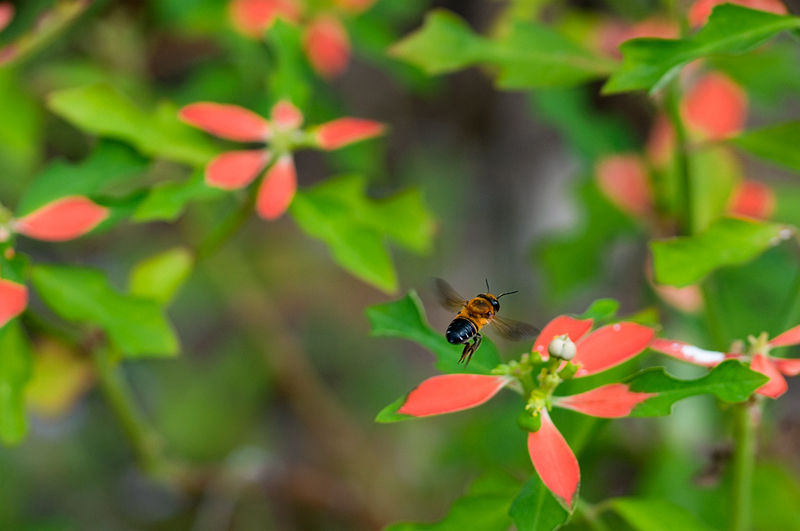 bee hovering over wild poinsettia
