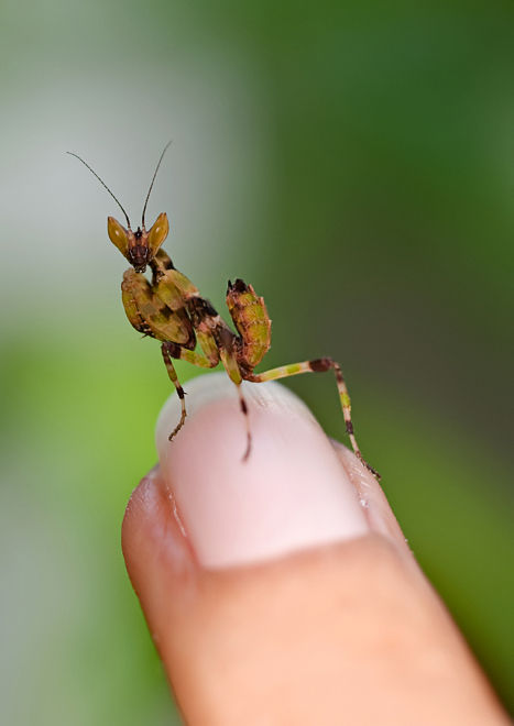 nymph praying mantis on finger
