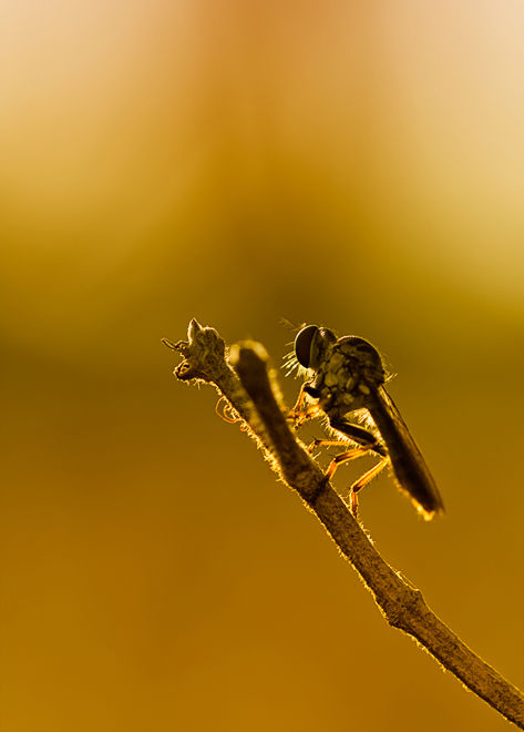 robber fly backlight macro asilidae