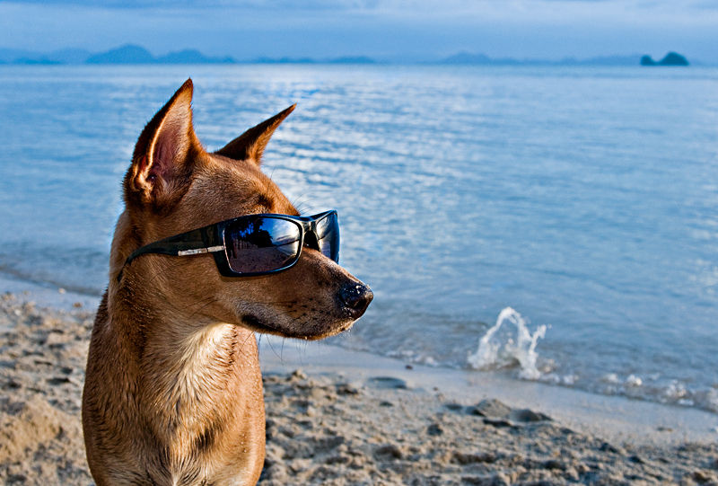 Dog on beach wearing sunglasses