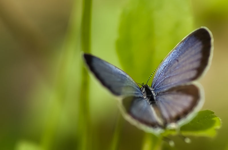 soft blue butterfly