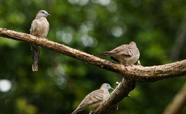group of zebra doves in tree