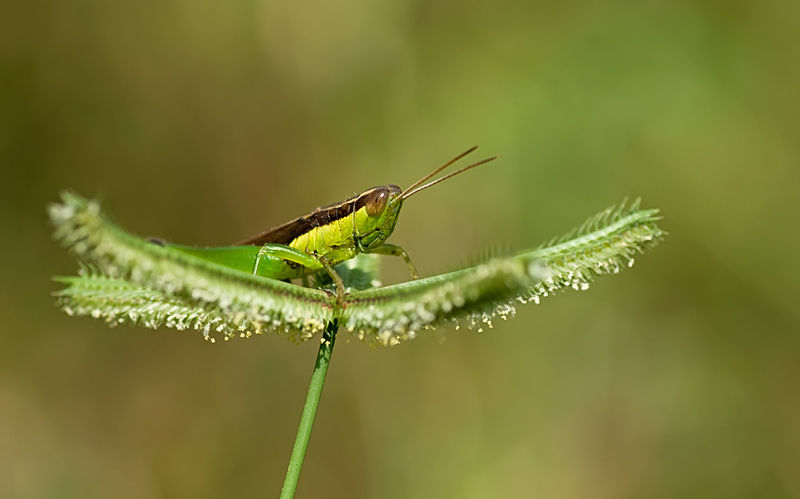 grasshopper on Egyptian Finger Grass
