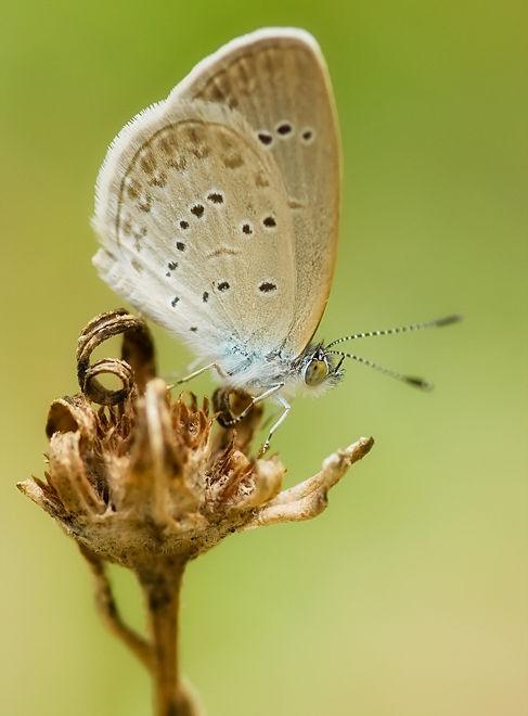 lesser grass blue zizina otis