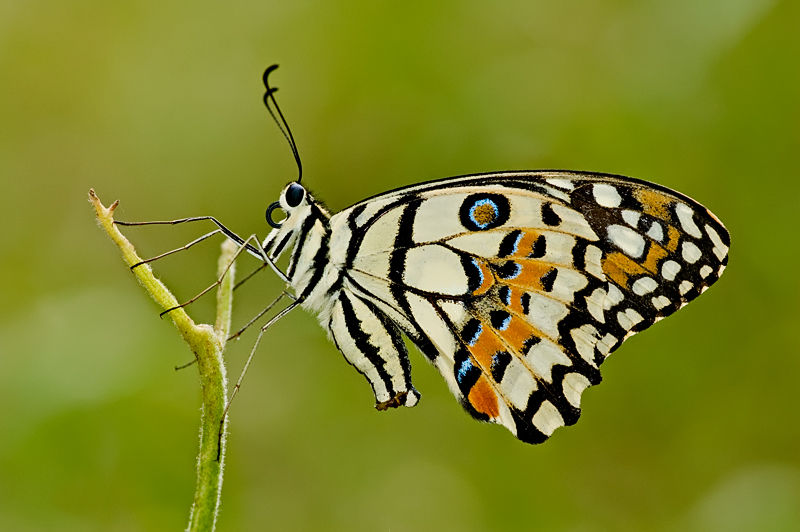 lime butterfly Papilio demoleus malayanus