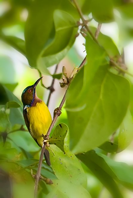 olive backed sunbird male thailand