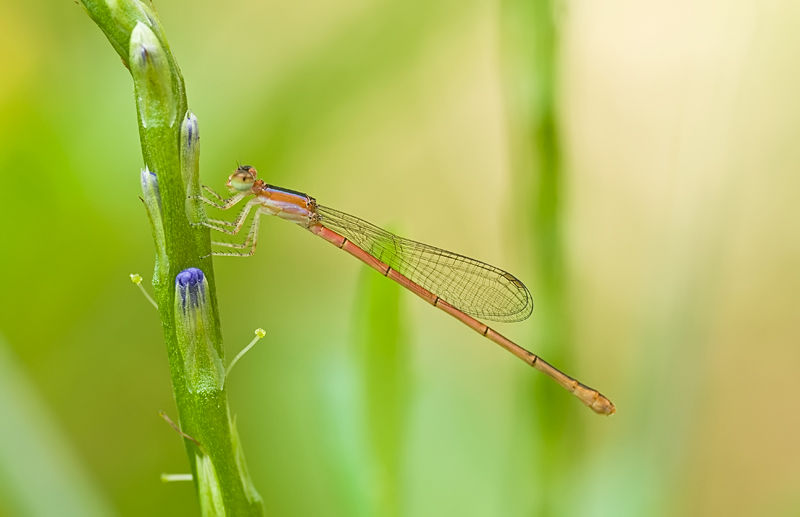 orange-tailed midget damselfly