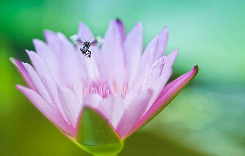flying bee over waterlily