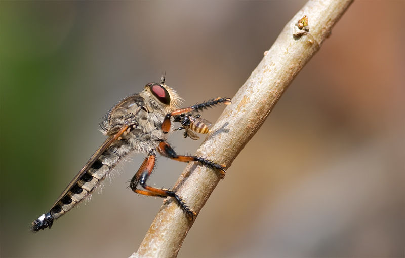 robber fly with prey asilidae