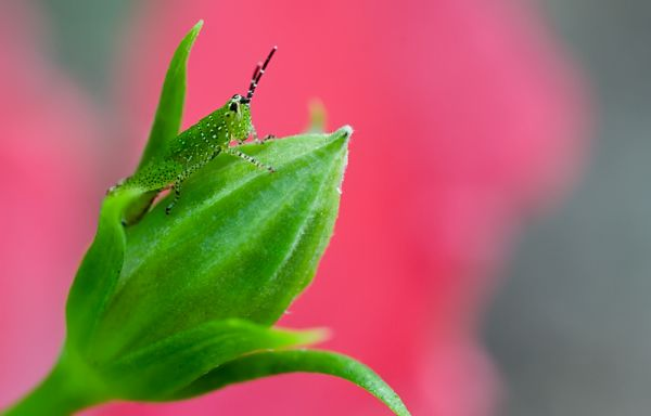 grasshopper riding a hibiscus