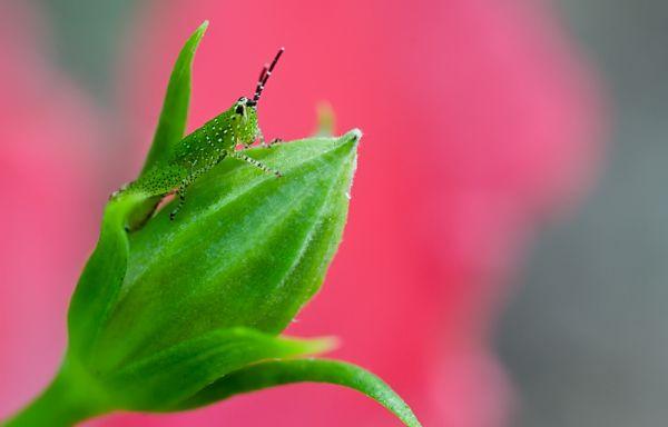 grasshopper riding a hibiscus