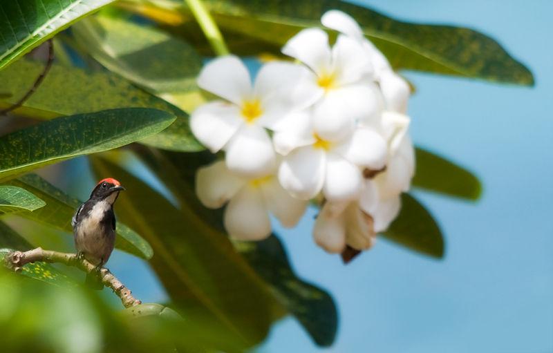 Scarlet-backed Flowerpecker on frangipani