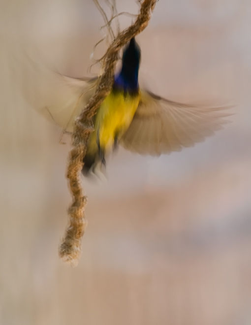 olive-backed sunbird cinnyris jugularis