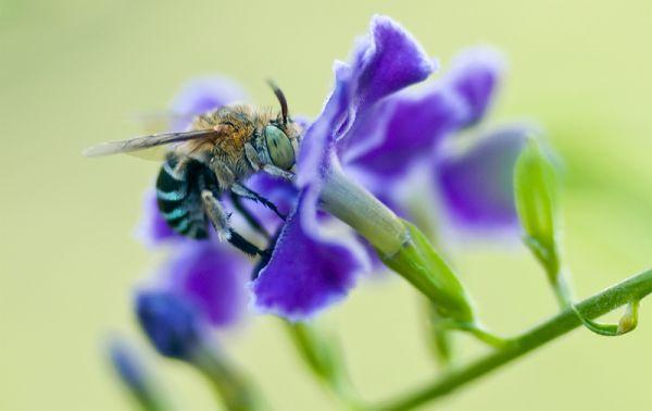 blue banded bee Amegilla cingulata
