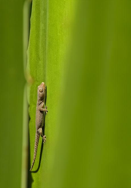 house gecko agave