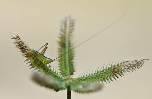 nymph grashopper on grass