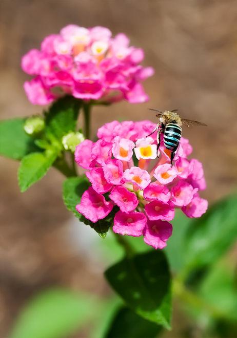 blue banded bee on pink lantana