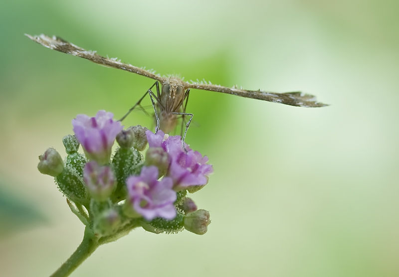 plume moth on flower vedermot