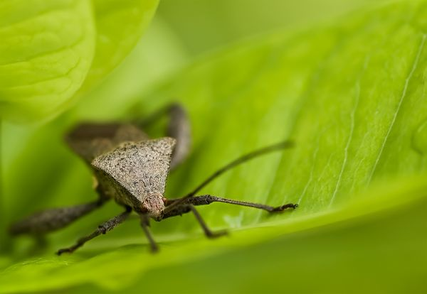 leaffooted bug coreidae