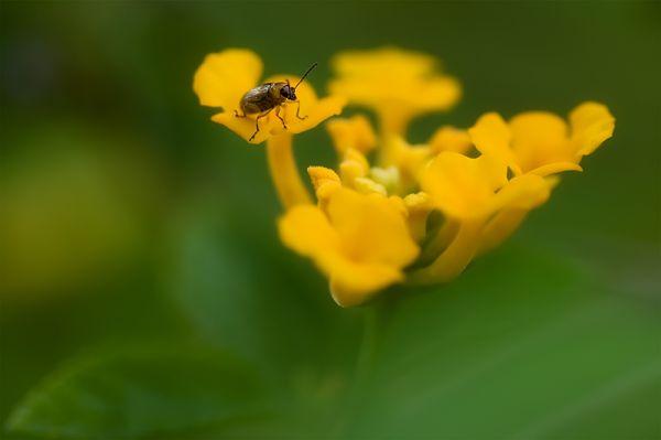 teeny-tiny bug on yellow lantana camara