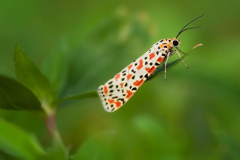 crimson-speckled flunkey artciidae