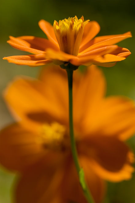 orange cosmea cosmos