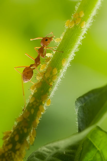 ant collecting honeydew