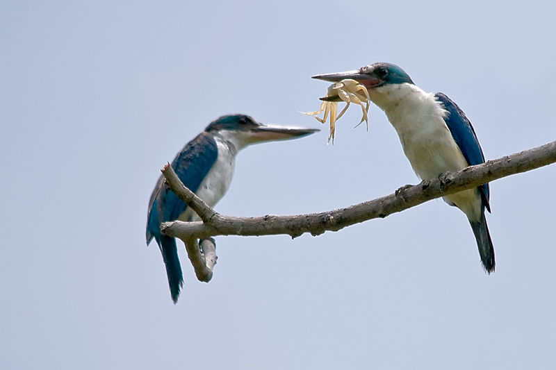kingfishers with crab