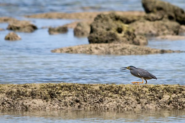 striated heron butorides striata