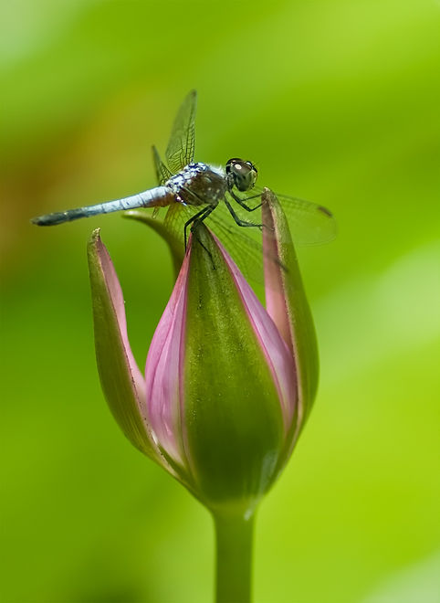 blue dragonfly on water lily