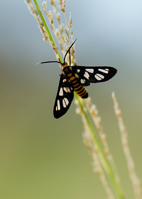 wasp moth on grass backlight