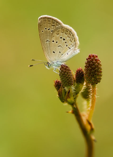 lesser grass blue on touch-me-not