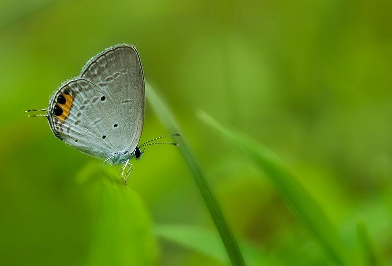 gram blue Euchrysops cnejus