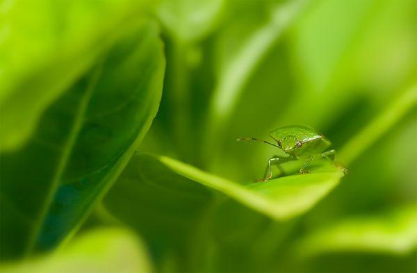stink bug Pentatomidae