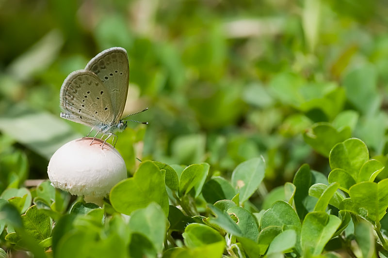 butterfly lesser grass blue on mushroom