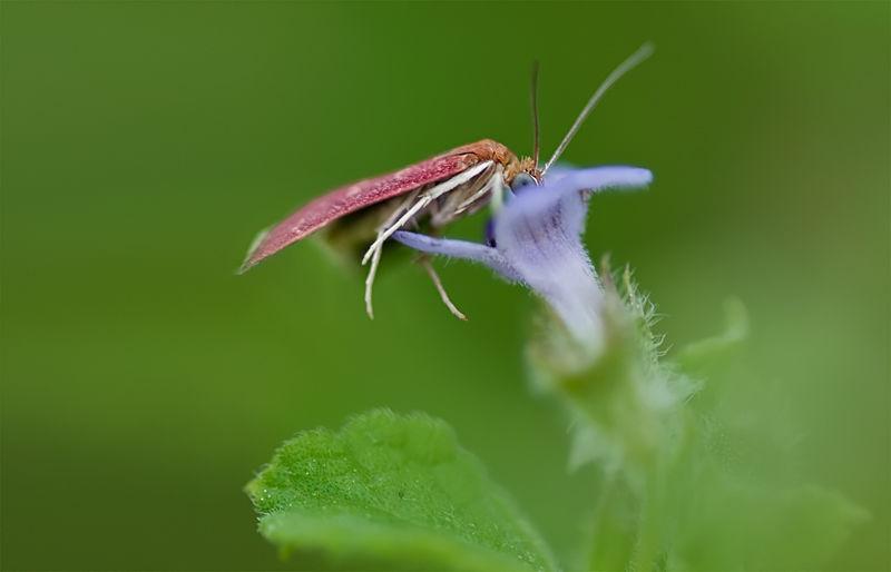 mint moth horehound