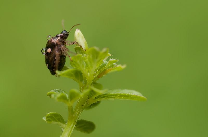 shieldbug covered in raindrops