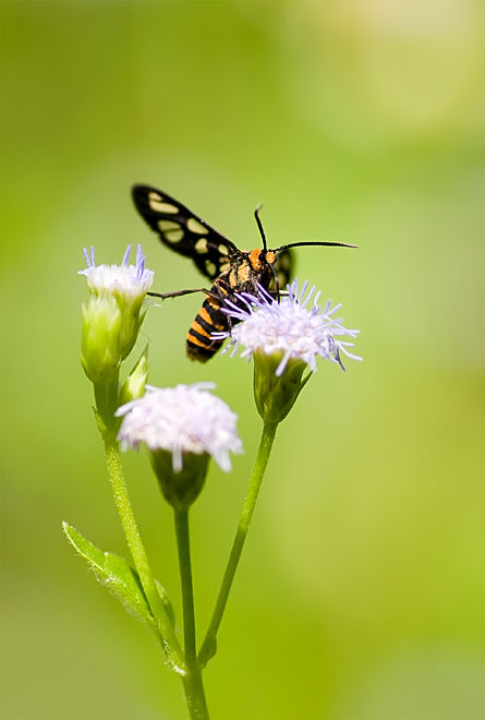 yellow banded wasp moth syntomeida ipomoeae