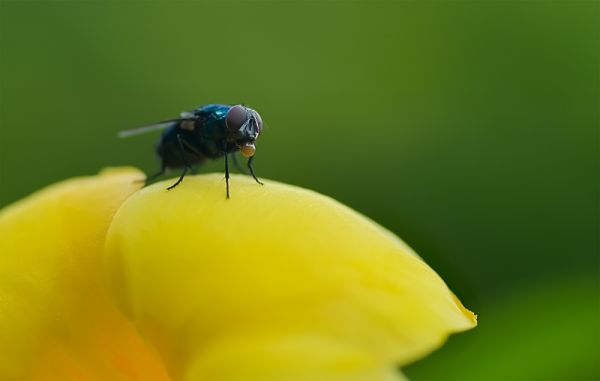 fly blowing bubble