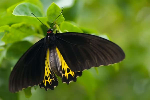 common birdwing troides helena cerebrus