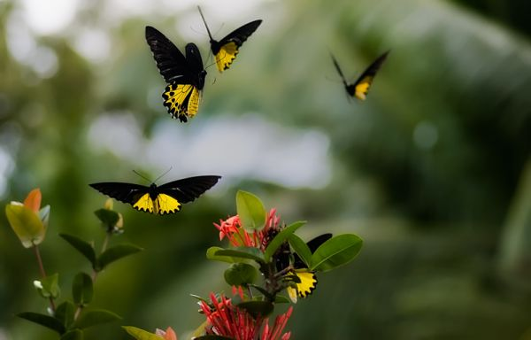 abundance of butterflies common birdwing