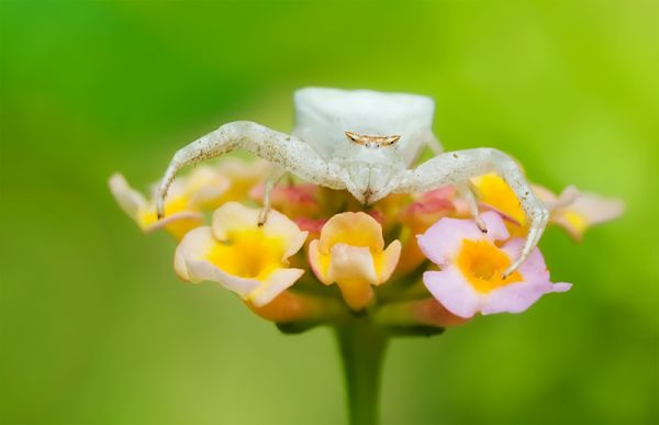 white flower spider on pink lantana camara