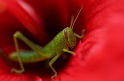 grasshopper inside red hibiscus