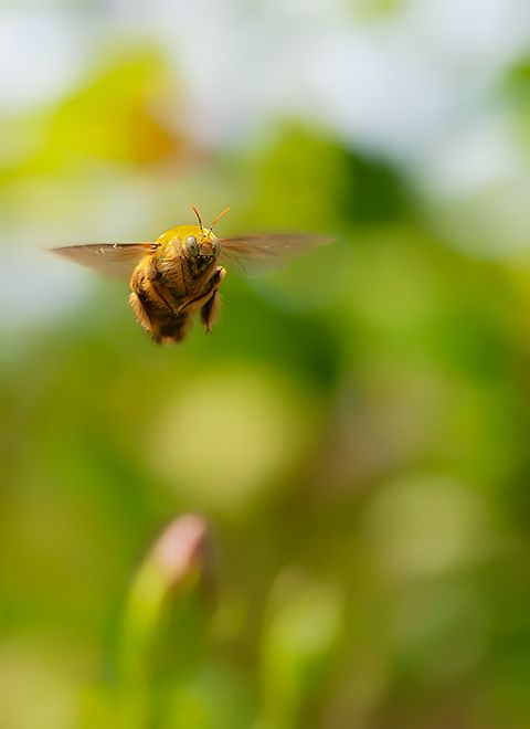 hovering chinese carpenter bee