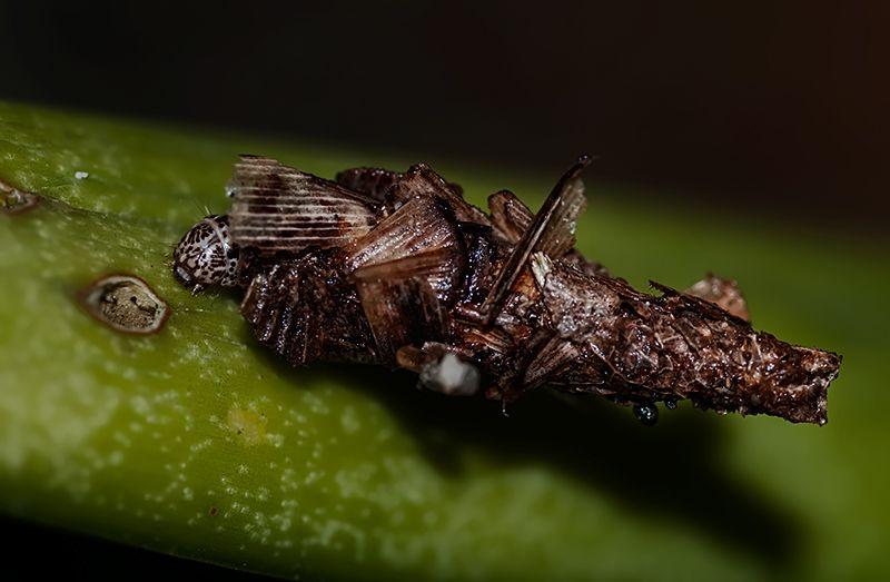 bagworm moth psychidae thailand