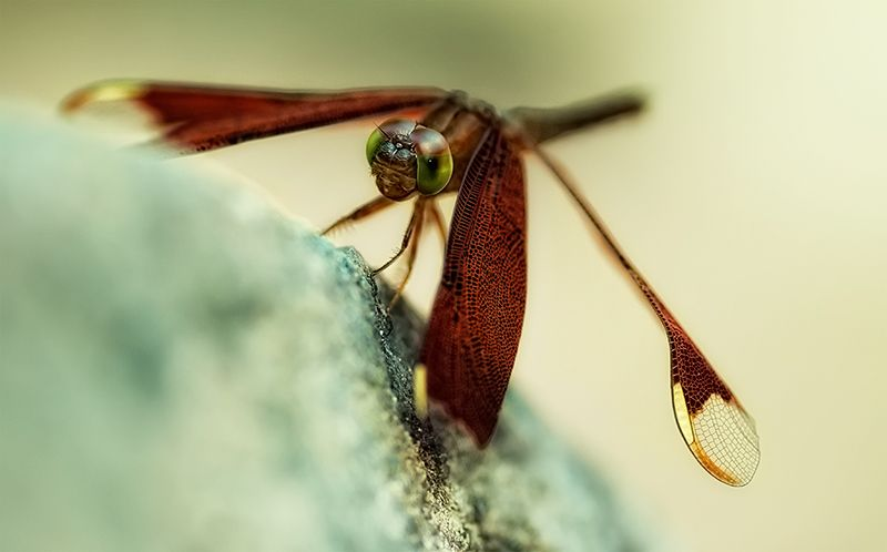 dragonfly fulvous forest skimmer