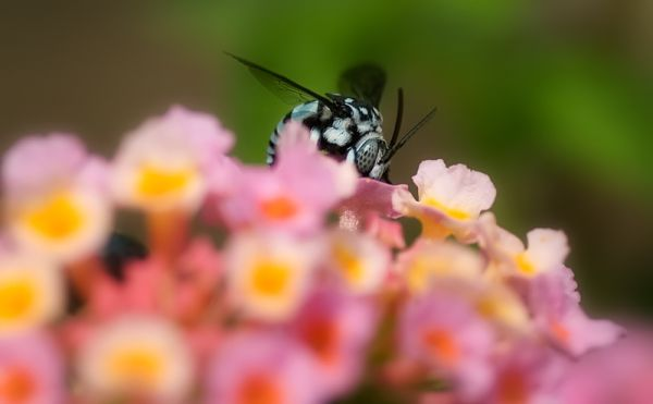 cuckoo bee apidae thyreus blue thailand